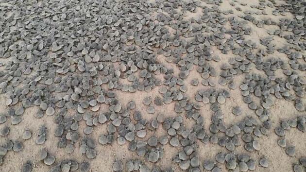 Amazon Nehri'nde kaplumbağa seli